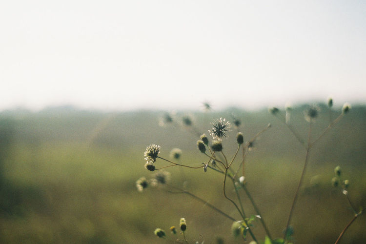 Beauty In Nature Close-up Day Environment Field Flower Flower Head Flowering Plant Focus On Foreground Fragility Freshness Growth Land Nature No People Outdoors Plant Scenics - Nature Sky Softness Tranquil Scene Tranquility Vulnerability  EyeEmNewHere