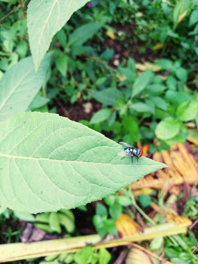 fly Leaf Insect