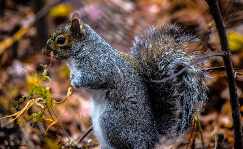 Animal Themes Animal Wildlife Animals In The Wild Central Park Close-up Day Eye4photography  EyeEm Best Shots EyeEm Gallery EyeEm Nature Lover EyeEmBestPics Nature New York No People One Animal Outdoors Squirrel The Great Outdoors - 2017 EyeEm Awards