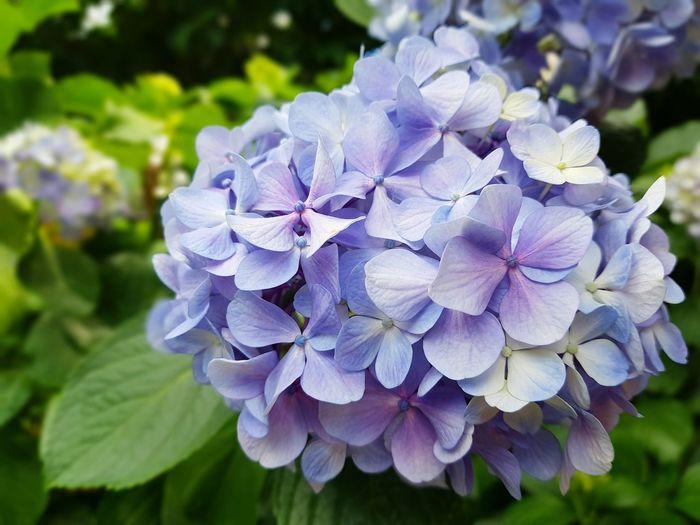 Summer Garden Blue No People Colour Pop Color Colour Hydrangea Hortensia Flower Flowers Spring Hydrangea Bush Floral Flora Blue Hydrangea Greenery Plants