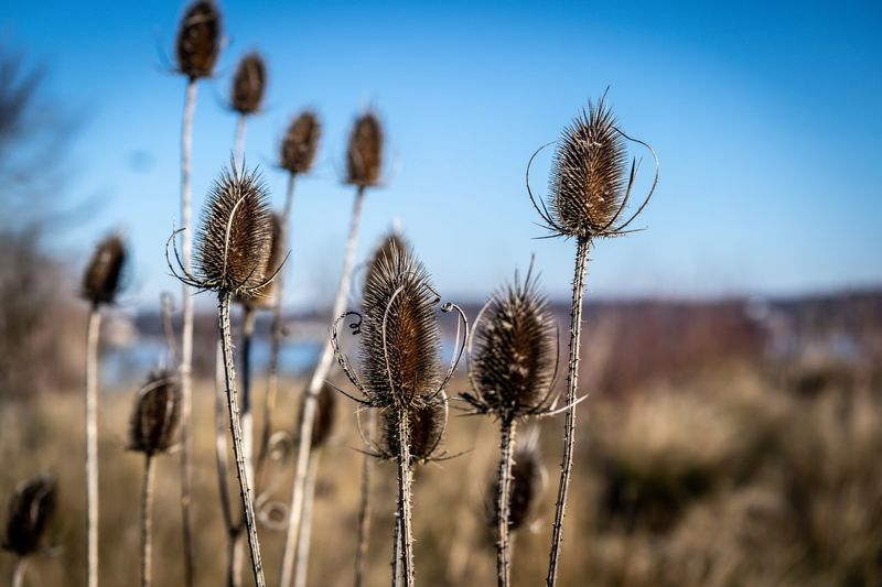 Close-up of dried plant on field against sky
