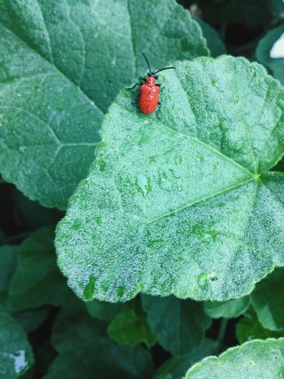 Close-up Nature Photography Red Lilly Beetle Red Lily Beetle Insect Leaf Plant Part Invertebrate Red Close-up Green Color Beetle Plant Animal Wildlife Growth Animals In The Wild One Animal Outdoors Nature High Angle View Animal Day No People