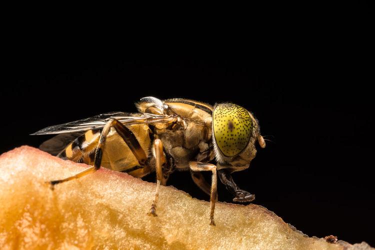 Extreme Close-Up Of Horse-Fly On Fruit Against Black Background