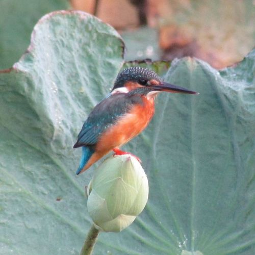 Bird Standing on a Lotus Flower. Animal Themes Bird Animals In The Wild One Animal Flower Beauty In Nature Nature Flower Photography Flowers, Nature And Beauty Beauty In Nature Backgrounds Thailand Flowers Trees Tods Tada Bangkok Thailand. Nature Single Flower Tree_collection  Lotus Flower Photo Thailand