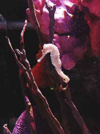 Seahorse In Aquarium Seahorse Seahorses Seahouses Sealifeaquarium Animal Photography Animalphotography Beauty Close-up Day Pink Color Sea Life Aquarium Aquarium Life Aquarium Aquarium Photography Aquatic Plants Aquarium Fish Aquariumfish Indoors  Animal Themes Animal