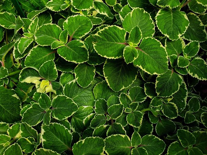 Green leaves nature background. Season  Tropical Climate Organic Biology Plant Pattern Growth Nature Tropical Autumn Autumn colors Leaf Full Frame Backgrounds Close-up Green Color Leaf Vein Plant Life Blossom Stem Bud Pistil Stamen Plant Part Botany Blooming Leaves Tree Ring