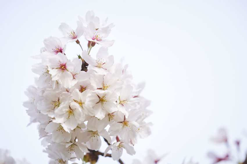 Beauty In Nature Blossom Bunch Of Flowers Cherry Blossom Cherry Tree Clear Sky Close-up Flower Flower Head Flowering Plant Fragility Freshness Growth Nature No People Petal Plant Sky Springtime Tree