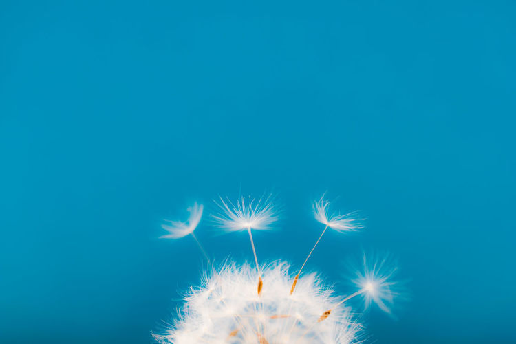 Close-up of dandelion against blue background