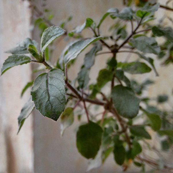 Plants 🌱 Leaf 🍂 Tulsi Leaf Myfirstpic Firstphotographevertaken
