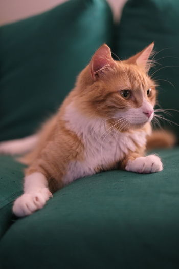 Close-up of ginger cat on sofa