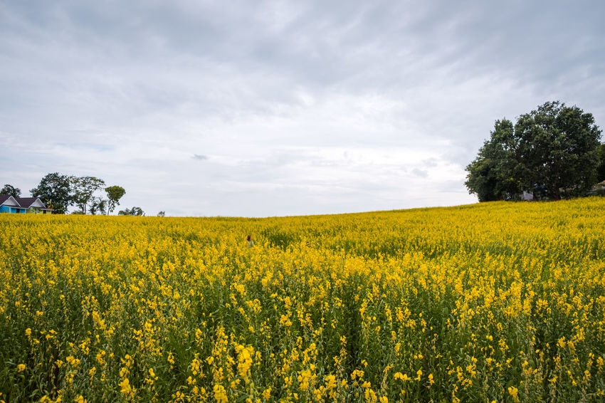 Agriculture Beauty In Nature Cloud - Sky Crop  Crotalaria Juncea Environment Farm Field Flower Flowering Plant Growth Land Landscape Nature No People Oilseed Rape Outdoors Plant Rural Scene Scenics - Nature Sky Springtime Sunn Hemp Tranquil Scene Tranquility Yellow