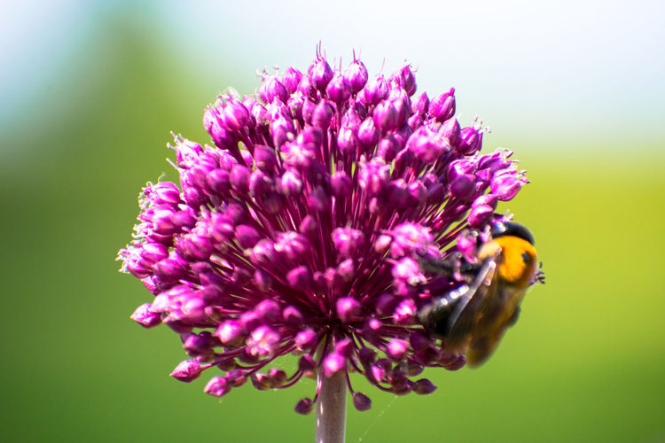 Close-up of honey bee on thistle