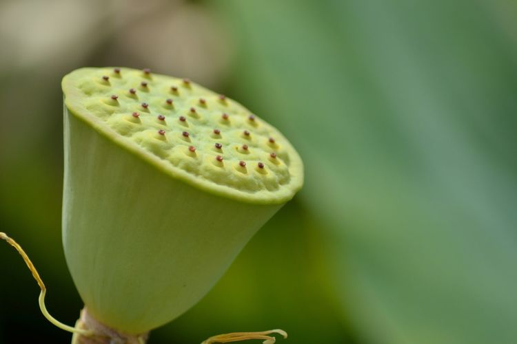 Close-up of lotus water lily plant pod