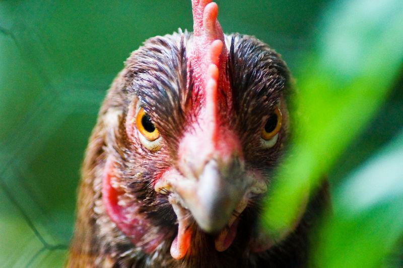 Portrait of hen outdoors