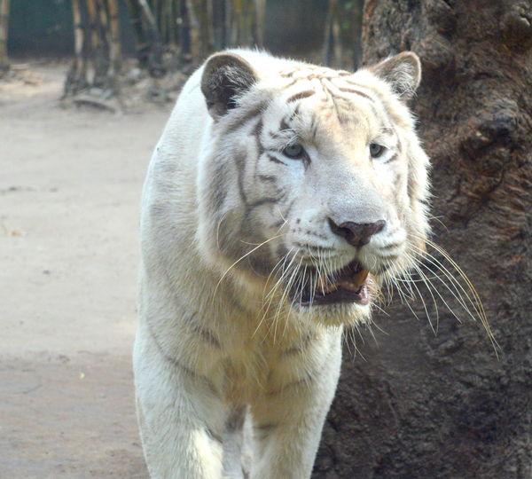 White Tiger Zòo