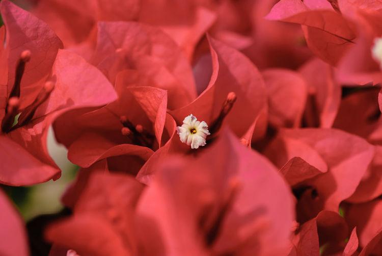 Close-up of bougainvillea