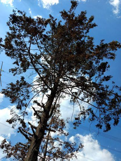 blue Tree Branch Backgrounds Blue Sky Single Tree Pine Tree