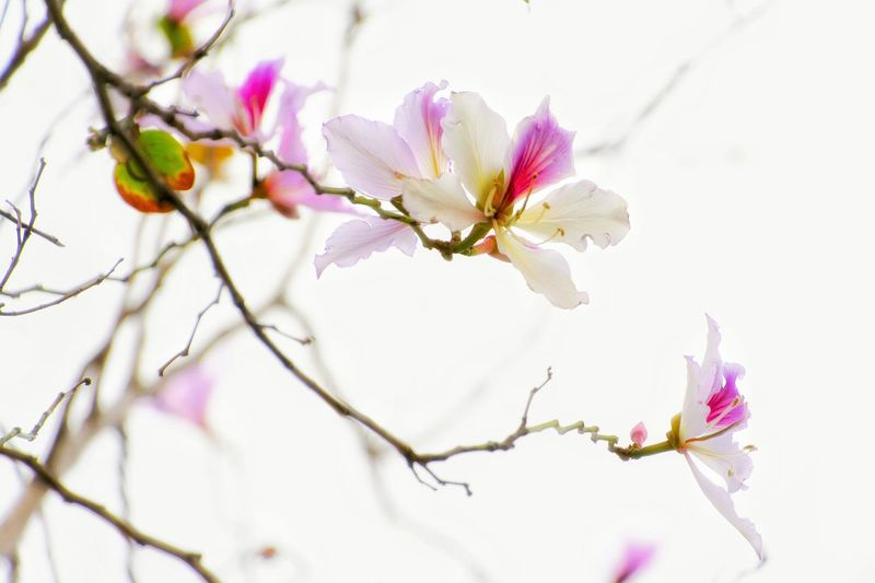 Blossom Flower Fragility Springtime Petal Botany Flower Head Branch Beauty In Nature Nature Close-up Plant Pink Color Growth White Background Pastel Colored Freshness Day Outdoors Full Frame Mood Captures Tree Exceptional Photographs EyeEm Gallery Master Class