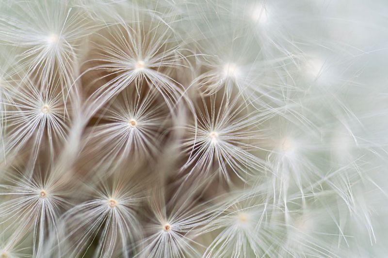 Full frame shot of dandelion on plant