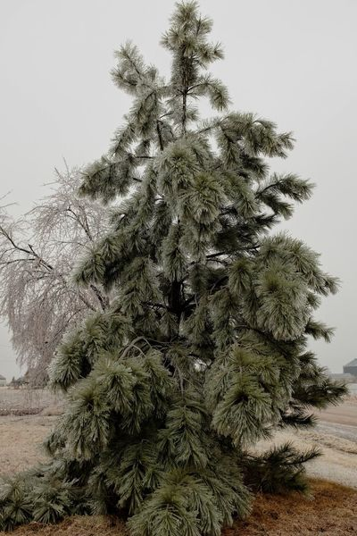 """Visual Journal January 16, 2017 Western, Nebraska - 15 and 16 January 2017 Ice Storm - Over the course of 15 and 16 January 2017, an upper-level storm system tracked from northwest Mexico into the central Plains. A seasonably moist low-level air mass present ahead of the upper-air disturbance surged north through the Great Plains, atop a sub-freezing, near-surface layer of air. The net result was a widespread ice storm which affected locations from the southern High Plains into the mid Missouri River Valley. This winter storm was unusual from the perspective that the predominant precipitation type was freezing rain with little in the way of observed snowfall. Over eastern Nebraska and southwest Iowa, ice accumulations ranged from 0.50-0.75"""" across southeast Nebraska to 0.10-0.20"""" in the Omaha Metro area. Beauty In Nature Camera Work Coniferous Tree Day Evergreen Tree Extreme Weather EyeEm Best Shots EyeEm Masterclass Frozen Ice Storm Ice Storm 2017 Icicles Icy Day MidWest My Neighborhood No People Outdoors Photo Diary Photo Essay Rural America Shootermag_usa Small Town Stories Storytelling Visual Journal Wintertime"""