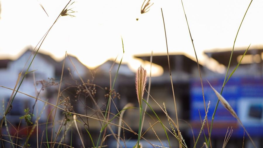 Before sunset2 Plant Focus On Foreground Growth Nature Outdoors No People Day Grass Sky Thailand Beauty In Nature Ratchaburi, Thailand Eveining Plant