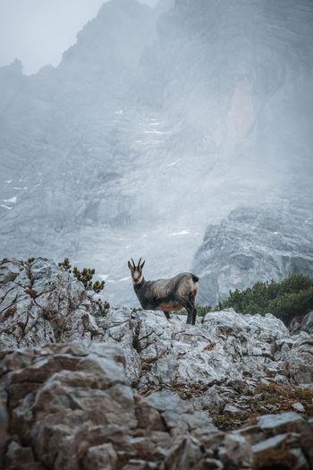 Side view of deer on rock