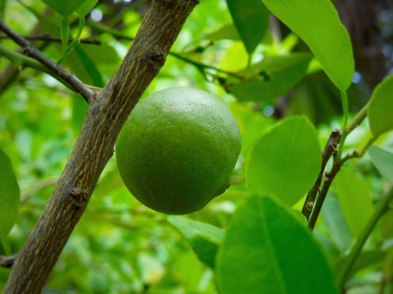 fruit, growth, green color, food and drink, tree, leaf, healthy eating, food, freshness, nature, focus on foreground, close-up, citrus fruit, branch, no people, day, outdoors, beauty in nature