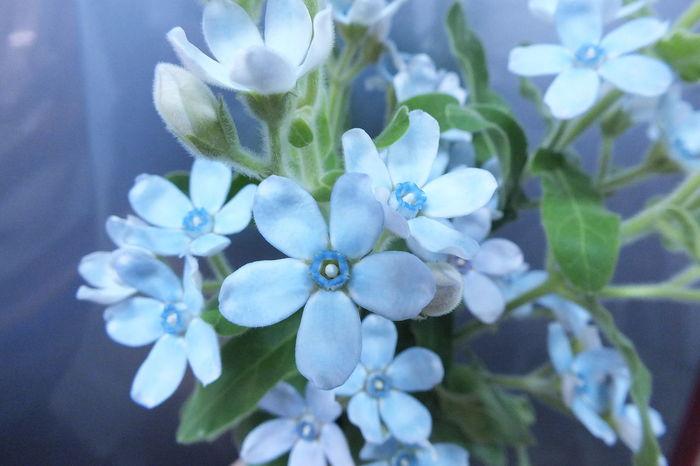 """""""blue star"""" Flowerporn Flower Flowers Cute♡ Beautiful Flower"""