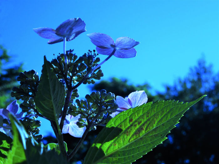 Hydrangea Plant Close-up Flower Flower Head Leaf Nature No People Outdoor Photography Outdoors Petal Plant