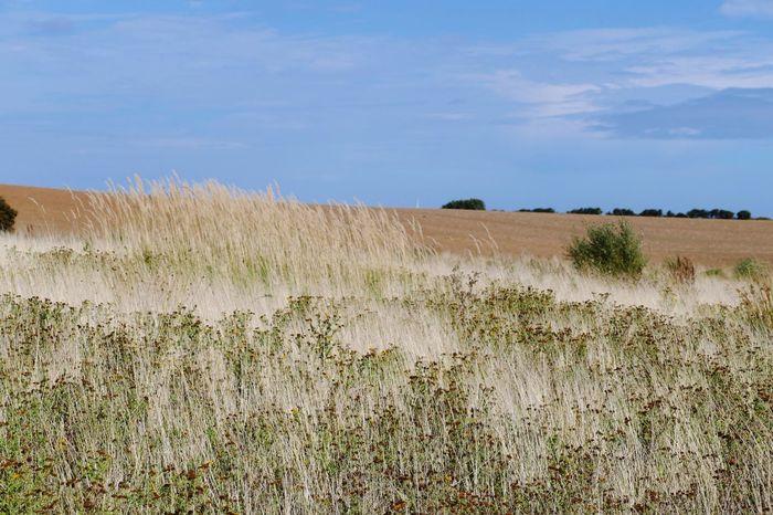 Landscape Landscape_Collection Landscape_photography Grass Grassy Grassland Grasses In The Wind Sky Grass Scenics Horizon Over Land Beauty In Nature Rural Scene