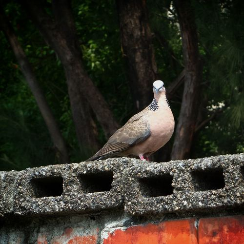 Turtledove Taking Photos Looking Attention!  珠頸斑鳩
