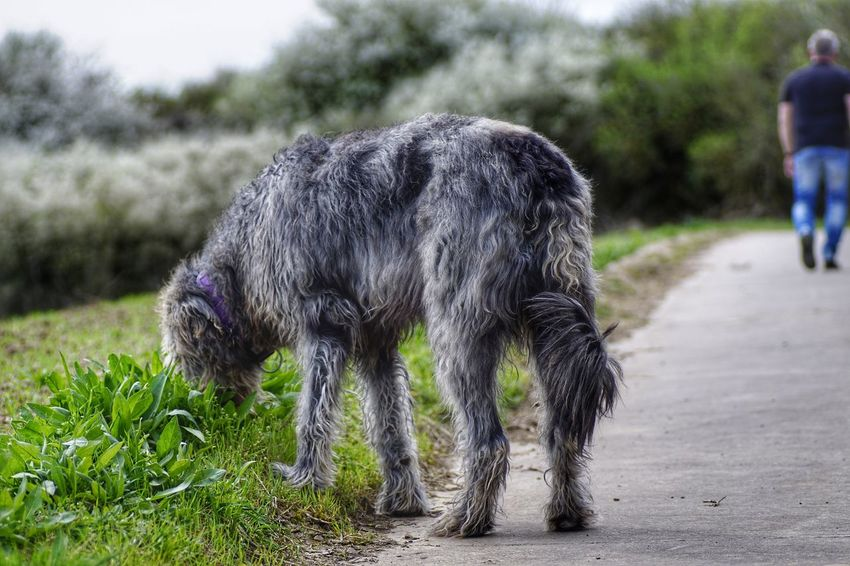 Animal Themes Grass Outdoors Animals In The Wild One Animal Tree Tail Sniffing Have A Nice Day♥ Hello World Irish Wolfhound Irishwolfhound Gentle Giant. Willi The Wolfhound Irish Wolf Hounds. One Man