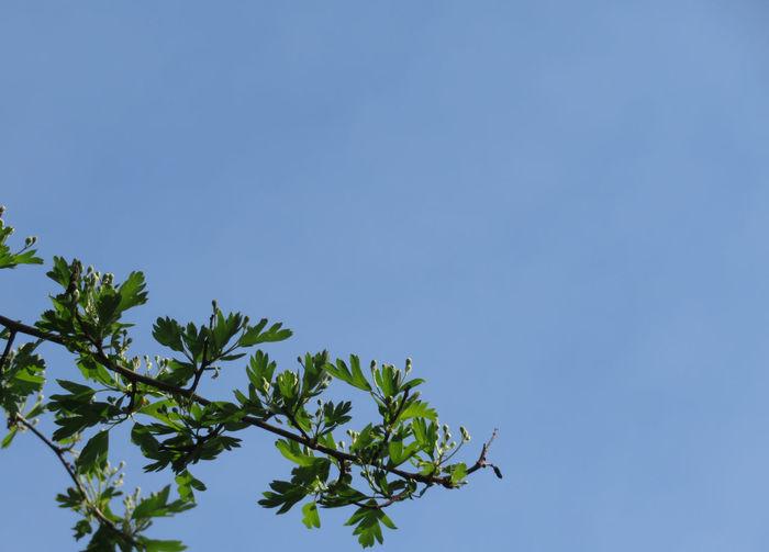 Tree Clear Sky Blue Branch Sky Springtime Decadence