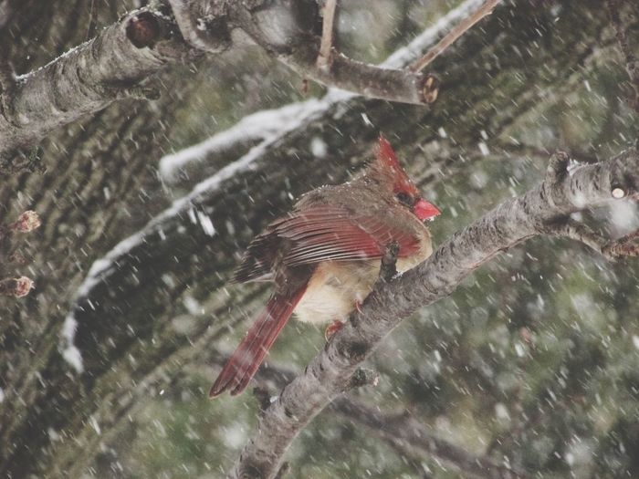 """2017 Winter Storm """"Stella"""" Bird Animal Themes Animals In The Wild One Animal Animal Wildlife Outdoors No People Day Nature Perching Tree Water Close-up Cardinal (female) Snow Winter Branches"""