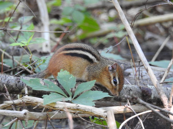 Animals In The Wild Chipmunk Close-up Trees Wildlife & Nature Wildlife Photography Adorable Animals Animal Themes Chipmunk Chipmunk Photography Chipmunks  Day Forest Forest Creatures Forest Photography Mammal Nature No People One Animal Outdoors Wild Nature Wildlife Woods
