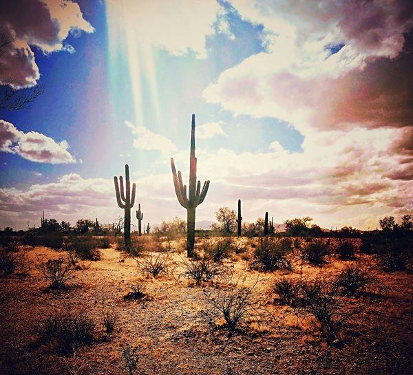 Arizona Arizona Desert Suguaro Cactus Daytime Colorful Postcard Scenery Outdoor Photography