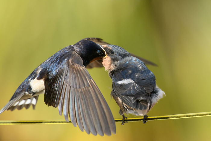 Swallow feeding its chick Birds Of EyeEm  Nature Nature Photography Animal Family Animal Wildlife Animals In The Wild Bird Bird Being Fed Bird Family Bird Perched Birds Birds Feeding Their Young Mouth Open Nature Summer Swallow Swallow Feeding Its Chick Swallows Togetherness