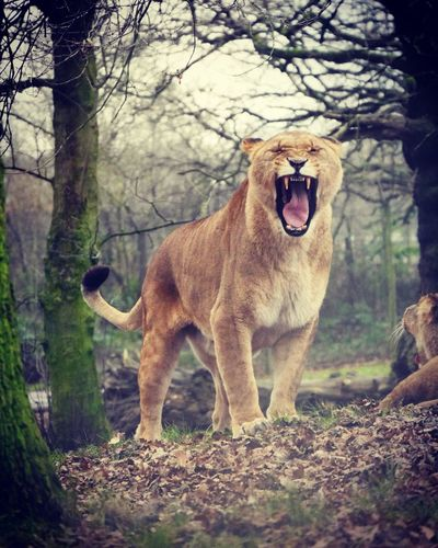Knowsley Safari Park Knowsleysafaripark Safari Lion Kingofthejungle Roar Photography Outside Fur Carnivore Nature Carnivores Jungle Beautiful