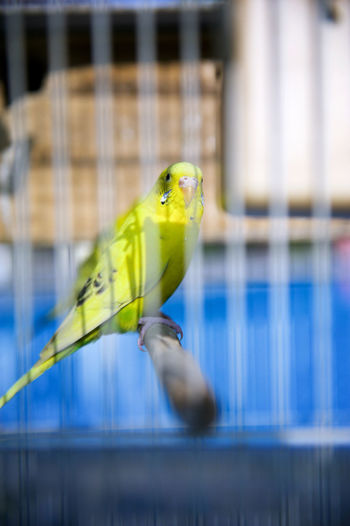 Green budgerigar in cage
