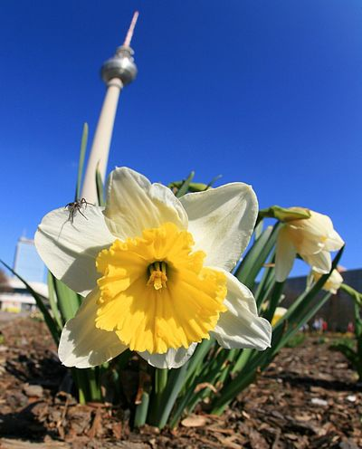 Berlin Germany radio tower in spring Alexanderplatz Berlin Copy Space Radio Tower Beauty In Nature Blooming Blue Clear Sky Close-up Daffodil Day Flower Flower Head Fragility Freshness Germany Lent Lily Nature No People Outdoors Petal Plant Sky Tower Yellow