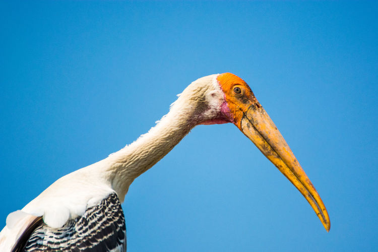 Side View Of Painted Stork Against Clear Blue Sky