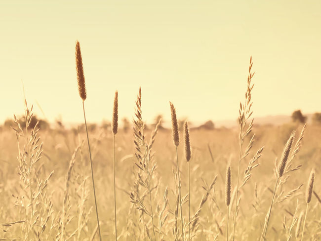 Field Nature Nature Photography Plants Agriculture Close-up Farm Field Focus On Foreground Fountain Grass Growth Landscape Nature Nature_collection Outdoors Plant Rural Scene Scene Scenery Sepia Sky Tranquil Scene Tranquility