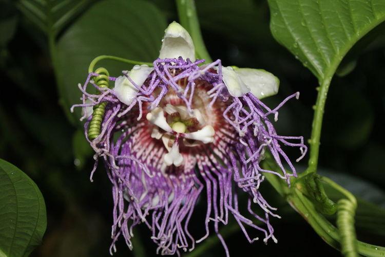 Passionfruit PassionFRUITflower Indonesianfruit Balinese Passionfruit Plant Flower Flower Indonesianflower