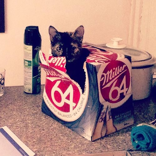 Beer cat Kitty Kitten Beer Beercat catinabox cute funny adorable