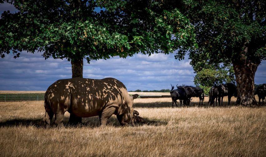 Rhinos in a field