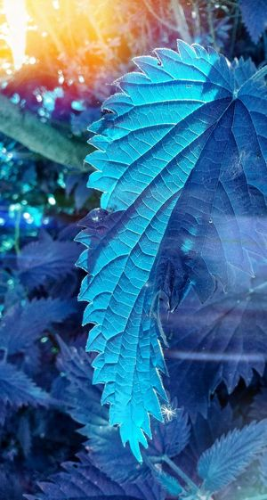 Blue Peacock Feather  Close-up Peacock Feather Beauty In Nature No People Nature Bird Fragility Beauty Animal Themes Fanned Out Outdoors Day Blue Leaf