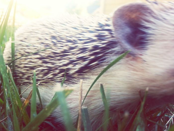 Hedgehog Pets Cute