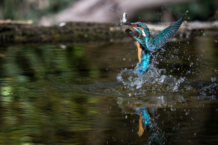 Kingfisher with fish in beak splashing water