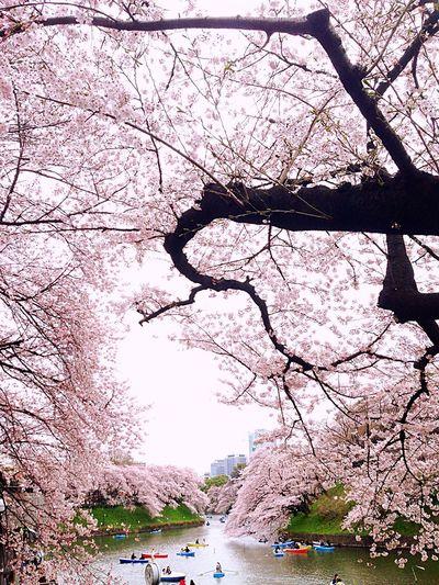 Cherry Blossoms 千鳥ヶ淵 Sakura2016