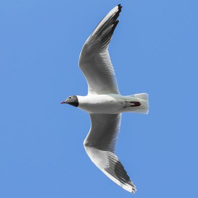 Flying Animals In The Wild Bird Spread Wings Vertebrate Animal Animal Wildlife Animal Themes Sky One Animal Clear Sky White Color Low Angle View No People Blue Day Motion Seagull Nature Black-headed Gull Outdoors Animal Wing Flapping